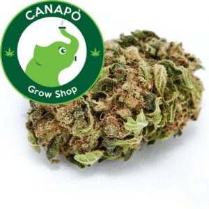 cannabis legale legalweed don pedro