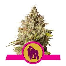 royal gorilla royal queen seeds