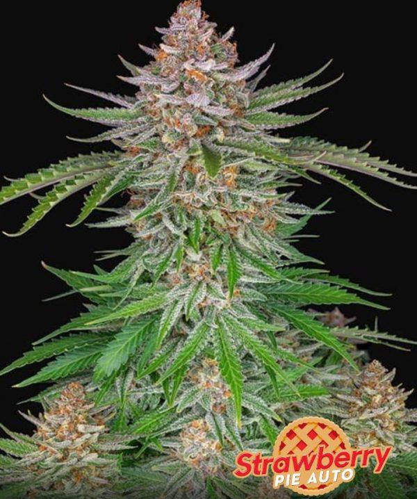strawberry pie fast buds