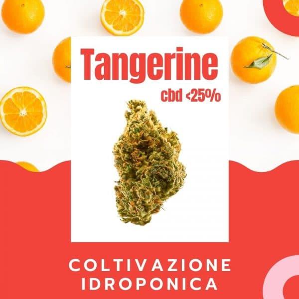 tangerine cbd canapa legale
