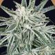 green gummy auto exotic seeds semi autofiorenti